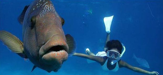 Great Adventures Great Barrier Reef Cruise to Norman Reef Wally The Maori Wrasse